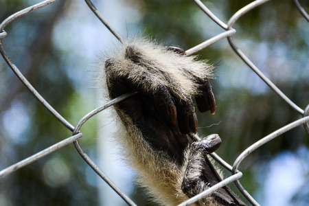 persecution: gibbons in the zoo,Hand of gibbons