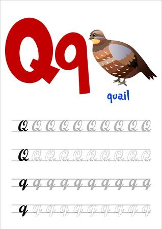 Design page layout of the English alphabet to teach writing upper and lower case letter Q with funny cartoon Quail. Flat style. Vector illustration
