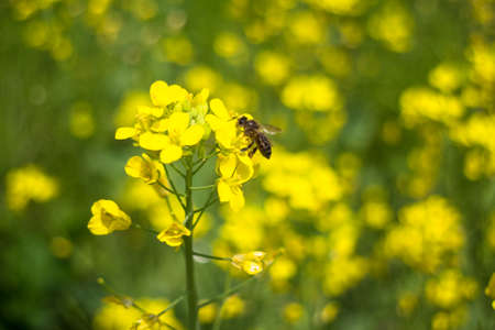 Close-up of a bee resting on canola flower