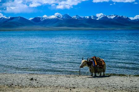 Yak calf by the Nam Co Lake, Tibet