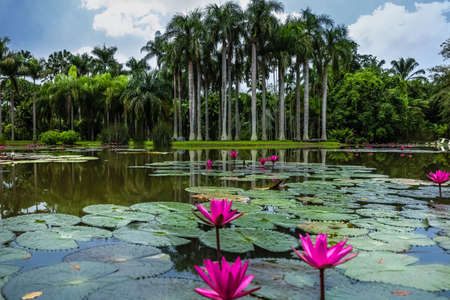 Waterlily plant on a lake