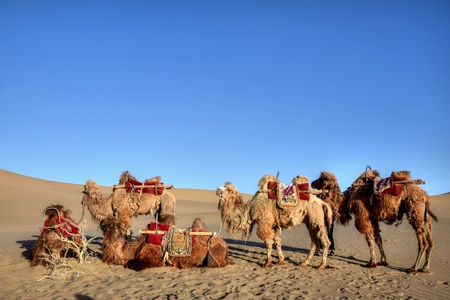 Caravan of camels takes a rest in the desert. Camels sitting on the sand dunes.