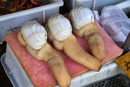 Geoduck clams (panopea abrupta) is a species of very large edible saltwater clam. Archivio Fotografico