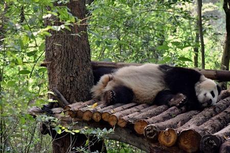 Image of giant panda on the nature background. Stock Photo