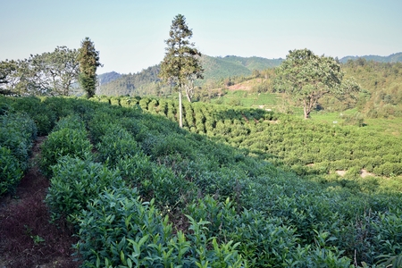 Tea plantation in Anhui province in China, the place where is famous black tea Liu An grown.