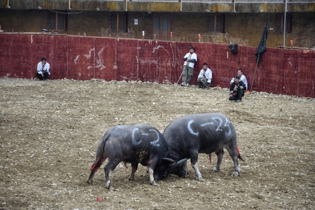 LEISHAN, GUIZHOU PROVINCE, CHINA, CIRCA DECEMBER 2017: Inside the water buffaloes fighting arena.