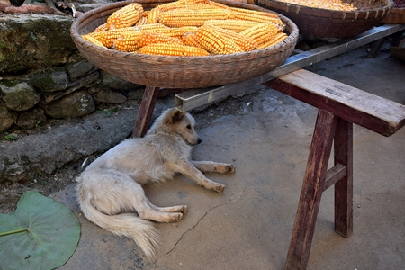 The white dog lies on the ground, under the wicker basket with the sweet corn. Stock fotó