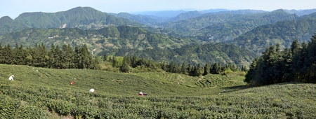 Tea plantations high in the mountains in  Guizhou province in China. 版權商用圖片