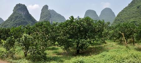 The Shaddock trees, Citrus maxima, grow in Yangshuo region in Guangxi Zhuang Autonomous Region.