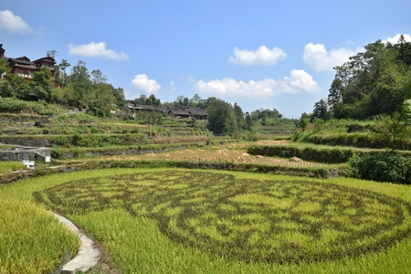 Rice paddy in Jidou Miao Village in Hunan province in China lies in the heart of Xiangxi steep cliffs, about 24 kilometers from Jishou. Editorial