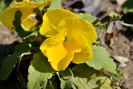 japonica: Iris japonica