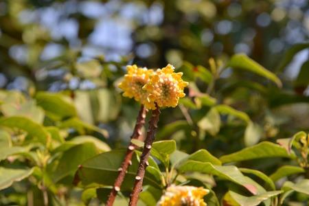 myrtales: Oriental Paperbush Flower Stock Photo