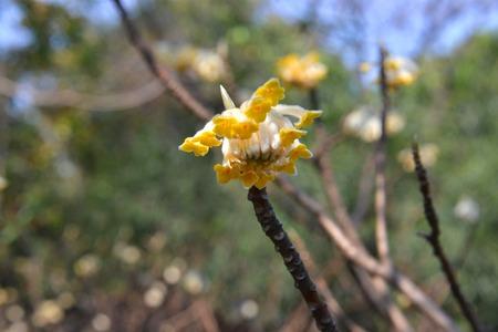myrtales: Oriental Paper bush Flower Stock Photo