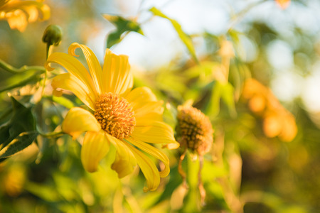 florescence: Yellow flower is Mexican Sunflower