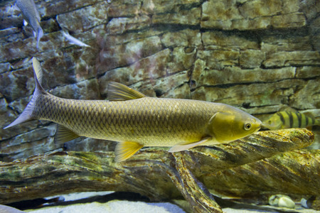 subsea: The white Amur fish in the big aquarium. Ctenopharyngodon idella Stock Photo