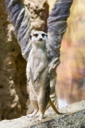 Meerkat in the zoo. Suricata suricatta. Family mangustov Stock Photo