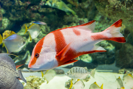 Emperor red snapper in the aquarium