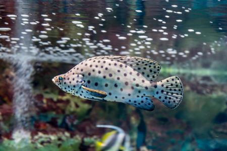 epinephelus: Leopard grouper in the aquarium. Cromileptes altivelis, Chromileptes altivelis, Epinephelus, Serranidae.