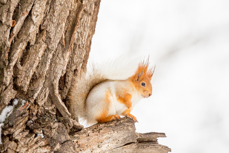 Squirrel sitting on an old tree. Winter day. Sciurus vulgaris