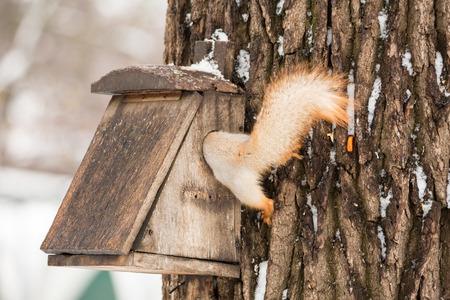 Squirrel gets into the bird feeder. Winter day. Sciurus vulgaris