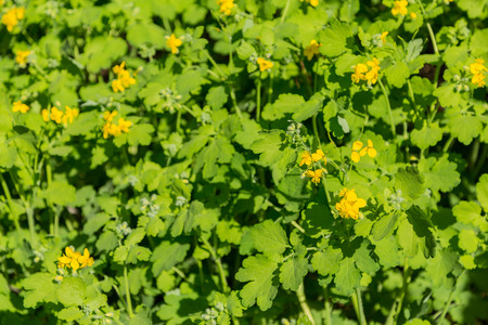 glades: Flowering of celandine. Yellow flowers, green stems and leaves. Stock Photo