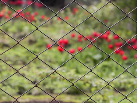 Metal mesh-netting. Tzvetushie red tulips in the background in the blur