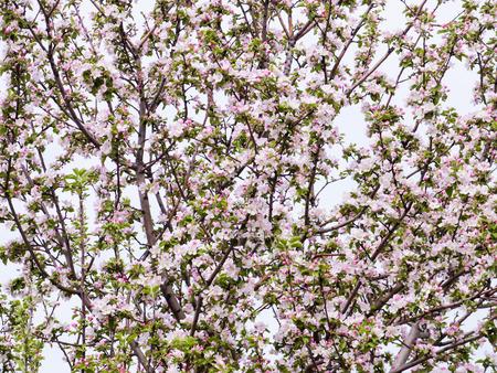 Pink flowers and buds of an Apple tree. Flowering gardens in may. 版權商用圖片