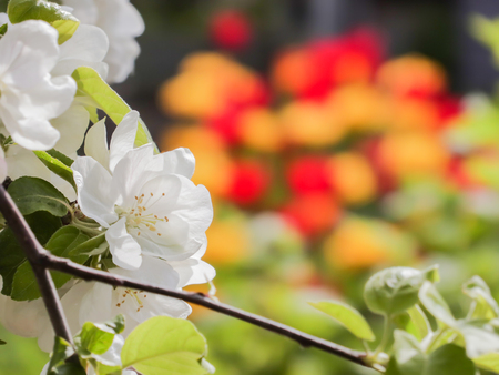 Flowering branch of Apple on a background of yellow and red tulips. Focus on foreground, blurred background.