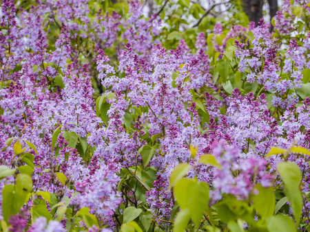 Flowering of lilac in the garden. Purple flowers and green leaves, background, texture. May, spring Stock Photo