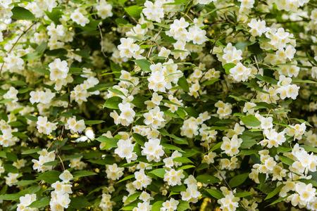 추 부시 니크 (Chubushnik), 재스민 (Jasmine) 정원이 피어 있습니다. 부시 꽃. 나무에 흰색 꽃입니다.