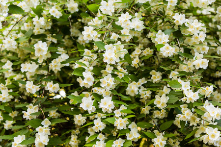 Chubushnik, or Jasmine garden bloom in the Park. Flowering Bush. White flowers on the tree.
