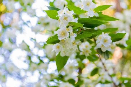 Chubushnik or jasmine garden bloom in the park flowering bush chubushnik or jasmine garden bloom in the park flowering bush white flowers on mightylinksfo