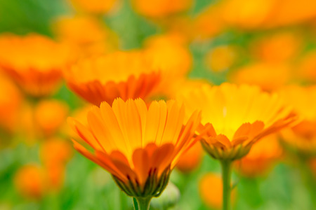 Calendula bloem dichte omhooggaand op vage achtergrond. De oranje bloem. Een geneeskrachtig kruid.