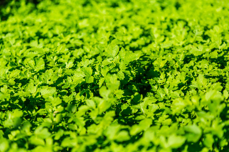 The young shoots of mustard. Green leaves of herbaceous plants. Textured background. Garden, vegetable garden.