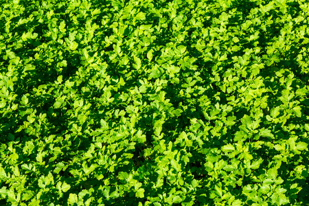 The young shoots of mustard. Green leaves of herbaceous plants. Textured background. Garden, vegetable garden