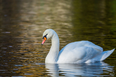 White Swan on the lake or in the pond. Blused background Stock Photo