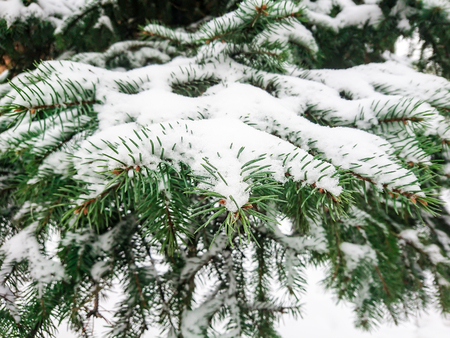 Snow on fir branches. Winter day in the forest or in the Park.