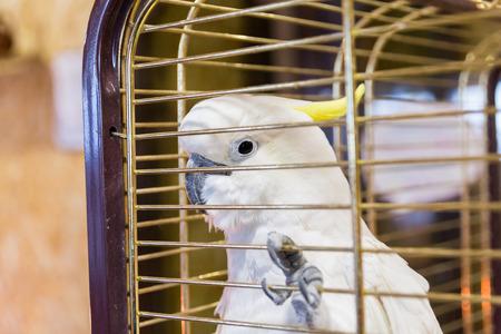 Big yellow-haired cockatoo in a cage. Cacatua galerita. Plyctolophus galeritus