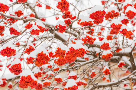 Snow and frost on the tree branches. Ripe bunches of Rowan. Winter day. 写真素材