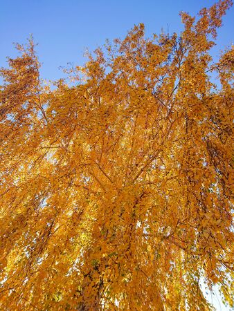 Yellow and orange leaves on the birch. Indian summer. Sunny day in October or September. Stok Fotoğraf - 131891233
