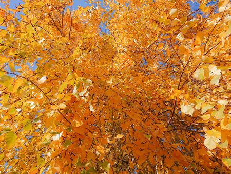 Yellow and orange leaves on the birch. Indian summer. Sunny day in October or September. Stok Fotoğraf - 131891306