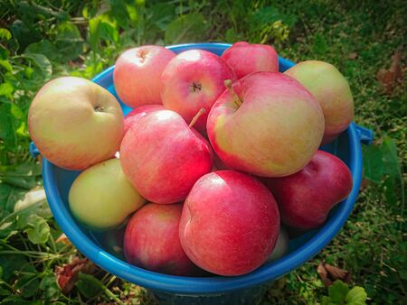 Ripe red apples in a blue plastic bucket. Autumn harvest in the country. 版權商用圖片