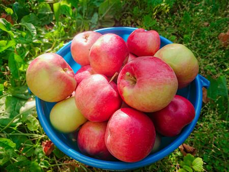Ripe red apples in a blue plastic bucket. Autumn harvest in the country. Stockfoto