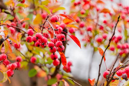 Red hawthorn berries on the Bush. Medicinal and ornamental plant. Autumn rainy day. Crata?gus