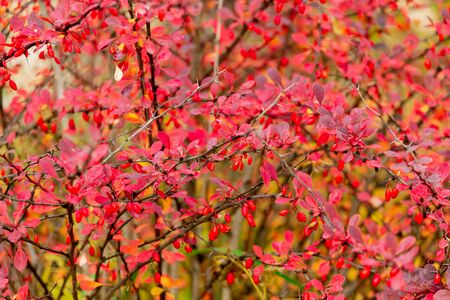 Red berries and leaves on barberry bushes. Autumn rainy day. Berberis Stok Fotoğraf - 132241818