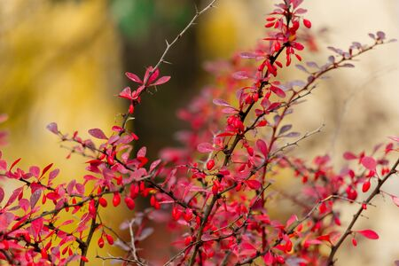 Red berries and leaves on barberry bushes. Autumn rainy day. Berberis