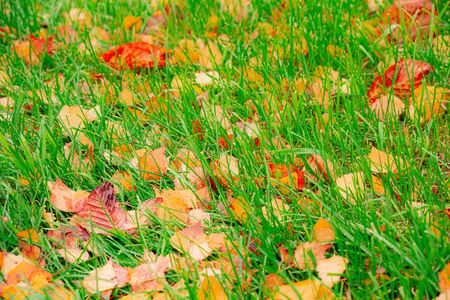 Fallen yellow and brown leaves lie on the green grass. Autumn rainy day. Drops of water on the grass. Stok Fotoğraf