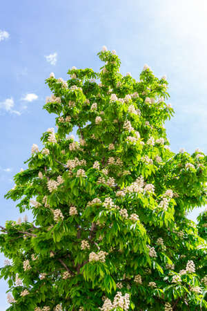 Blooming horse chestnut on a sunny May day