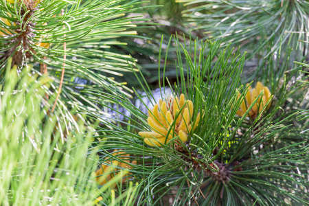 Needles and buds on the branches of Siberian cedar in spring 스톡 콘텐츠