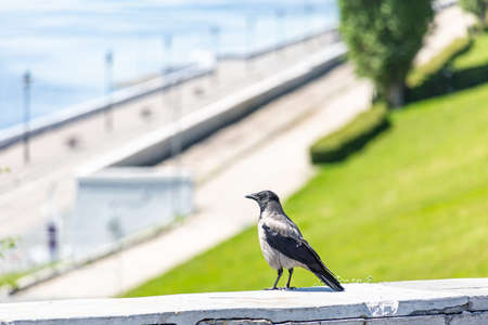 Embankment in the city of Saratov without people, Russia. A crow in the foreground. Quarantine due to the  epidemic. People are not allowed to enter the park. A sunny spring or summer day